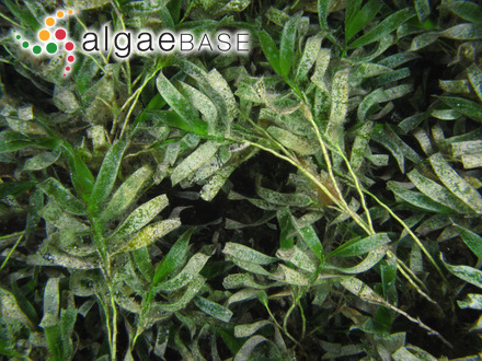 Mesogloia virescens Carmichael ex Berkeley