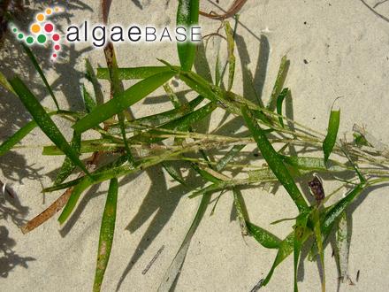 Rivularia vermiculata Smith
