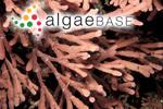 Corallina anceps Lamarck