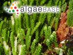 Caulerpa racemosa f. cylindracea (Sonder) Weber Bosse