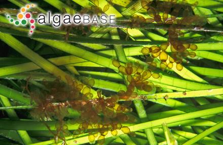 Acrosorium uncinatum var. reptans (P.Crouan & H.Crouan) Ben Maiz, Boudouresque & Ouachi