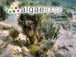 Halimeda cylindracea Decaisne