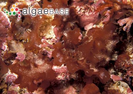 Desmarestia antarctica R.L.Moe & P.C.Silva