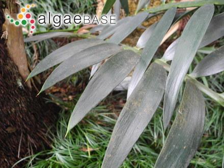 Halarachnion ligulatum var. latifolium Harvey