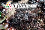 Sphaerococcus acicularis (Roth) C.Agardh