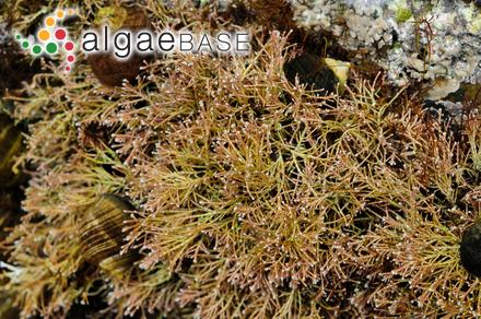 Neodilsea integra (Kjellman) A.D.Zinova