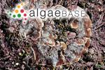 Lithophyllum lichenoides (J.Ellis) Rosanoff ex Hauck