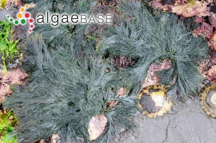 Giffordia irregularis (Kützing) Joly