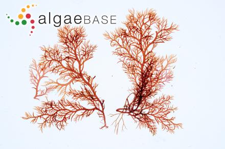 Ectocarpus lebelii var. agigensis Celan