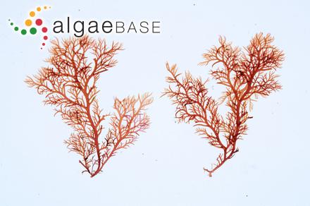 Ectocarpus mucronatus De A.Saunders