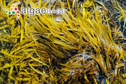 Hecatonema hispanicum (Sauvageau) Loiseaux