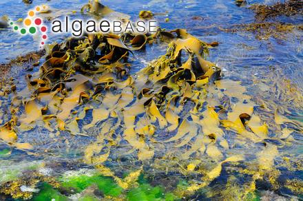 Heteroderma sargassi (Foslie) Foslie