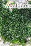 Prasiola crispa (Lightfoot) Kützing