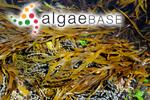 Phyllospora comosa (Labillardière) C.Agardh