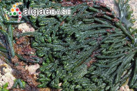 Plocamium vulgare J.V.Lamouroux