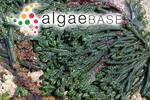 Codium fragile subsp. tasmanicum (J.Agardh) P.C.Silva