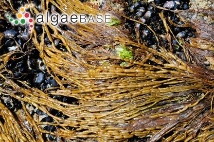 Plocamium angustum var. pusillum (Sonder) Harvey