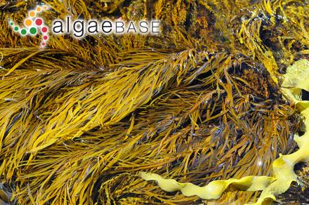 Cystoseira ercegovicii Giaccone