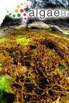 Blossevillea torulosa (R.Brown ex Turner) Decaisne