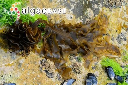 Chondria hamulosa (Esper) C.Agardh
