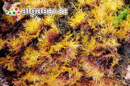 Halymenia carnosa var. dentata (Suhr) Kützing