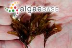 Halymenia fastigiata Bory