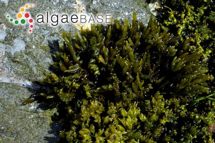 Galaxaura fragilis (Lamarck) J.V.Lamouroux