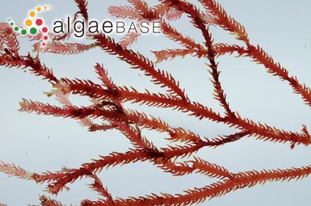 Bifida nitophylloides (Harvey) Kuntze