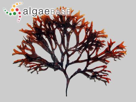 Sargassum decurrens (R.Brown ex Turner) C.Agardh