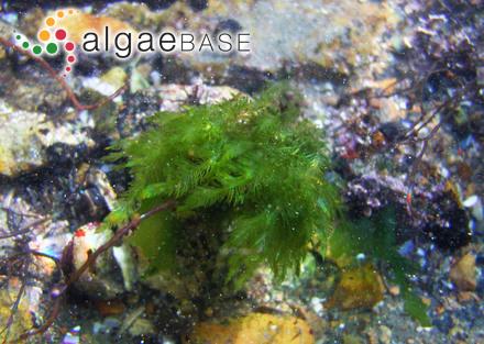 Sargassum dentifolium (Turner) C.Agardh