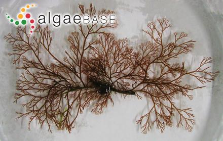 Sargassum desvauxii (Mertens) C.Agardh