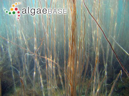 Neurocarpus pardalis (Harvey) Kuntze