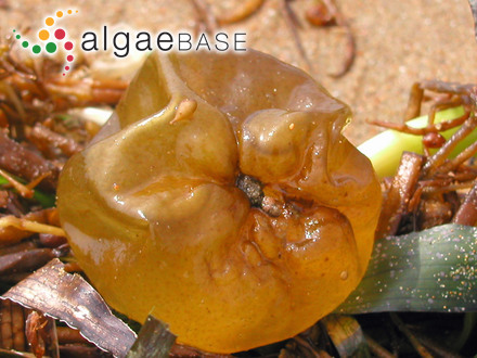 Lithoporella sauvageaui (Foslie) Adey