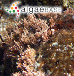 Corallina pilulifera Postels & Ruprecht