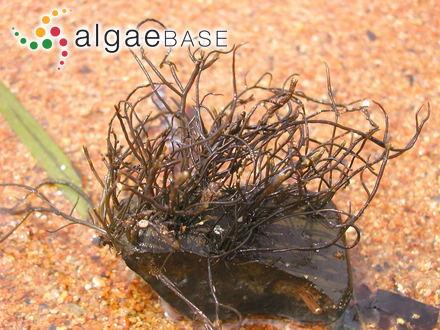 Orthosorus nigrescens (Sonder) Trevisan