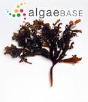 Mastocarpus pacificus (Kjellman) Perestenko