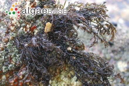 Neorhodomela munita (Perestenko) Masuda