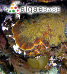 Ralfsia fungiformis (Gunnerus) Setchell & N.L.Gardner