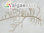Sphaerotrichia divaricata (C.Agardh) Kylin