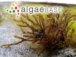 Cladostephus spongiosus (Hudson) C.Agardh