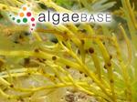 Sphaerococcus confervoides var. gracilis (Stackhouse) C.Agardh