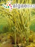 Fucus gracilis Stackhouse