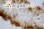Mesogloia divaricata C.Agardh
