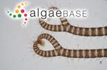 Acanthoceras echionotum (J.Agardh) Kützing