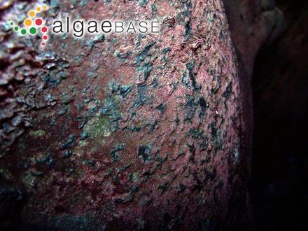 Rhodymenia fabriciana (Lyngbye) J.Agardh