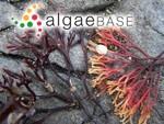 Ahnfeltiopsis gigartinoides (J.Agardh) P.C.Silva & DeCew