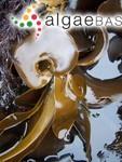 Alaria marginata Postels & Ruprecht