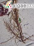 Desmarestia latifrons (Ruprecht) Kützing