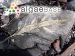 Desmarestia ligulata (Stackhouse) J.V.Lamouroux