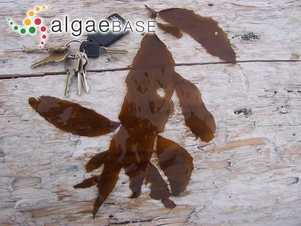 Antithamnion ogdeniae I.A.Abbott